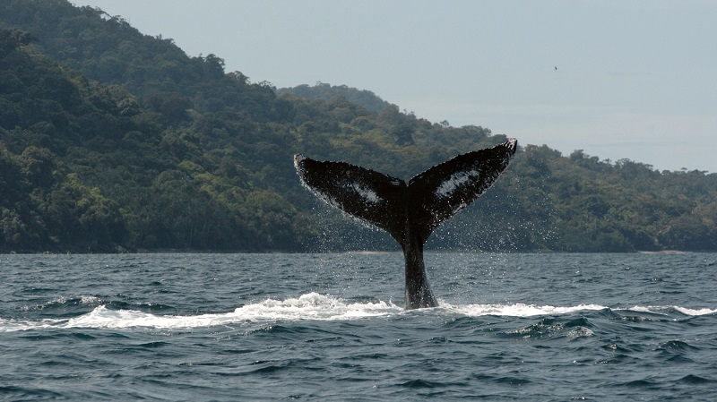 Observação de baleias na ilha Gorgona